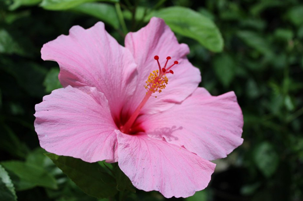 Plant of the Week: Hibiscus Featured Image