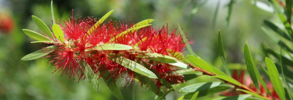 Plant of the Week: Bottlebrush Featured Image