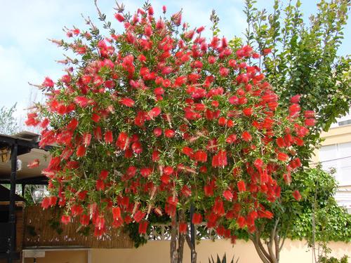 Midsize florida trees bottlebrush evergreen bottlebrushtree a beautiful flowering tree mightylinksfo Gallery