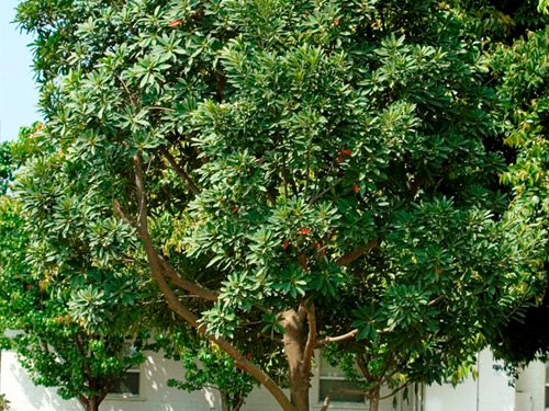 japanese blueberry tree fruit also lush dark green leaves cover ornamental year small white flowers dying roots