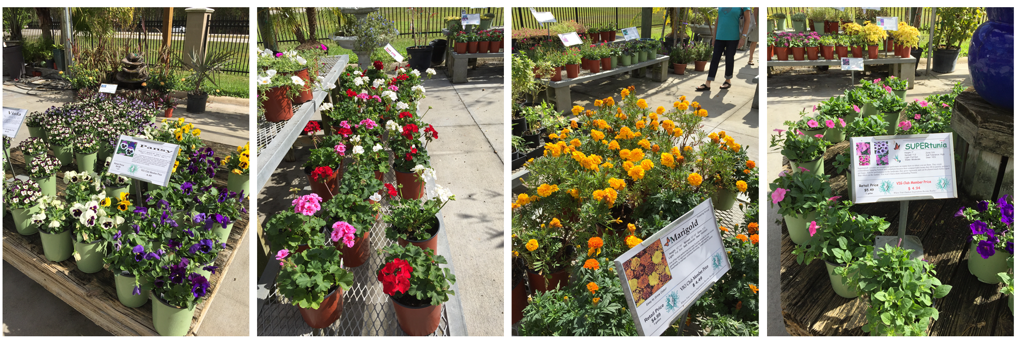Winter annuals are arriving verdego want some pops of color with beautiful flowers to beautify your home as the holidays approach try adding some winter annualsf pansies violas marigolds izmirmasajfo