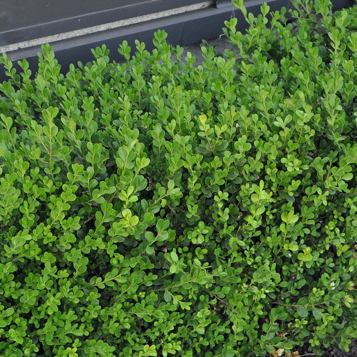 japanese boxwood verdego