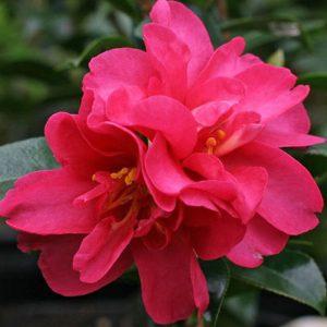 Camellias Verdego