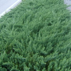 Plant Of The Week Juniper Parsoni Verdego