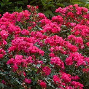 Plant of the Week: Roses - VerdeGo