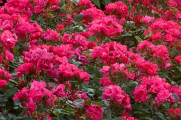 Flowering Shrubs Featured Image
