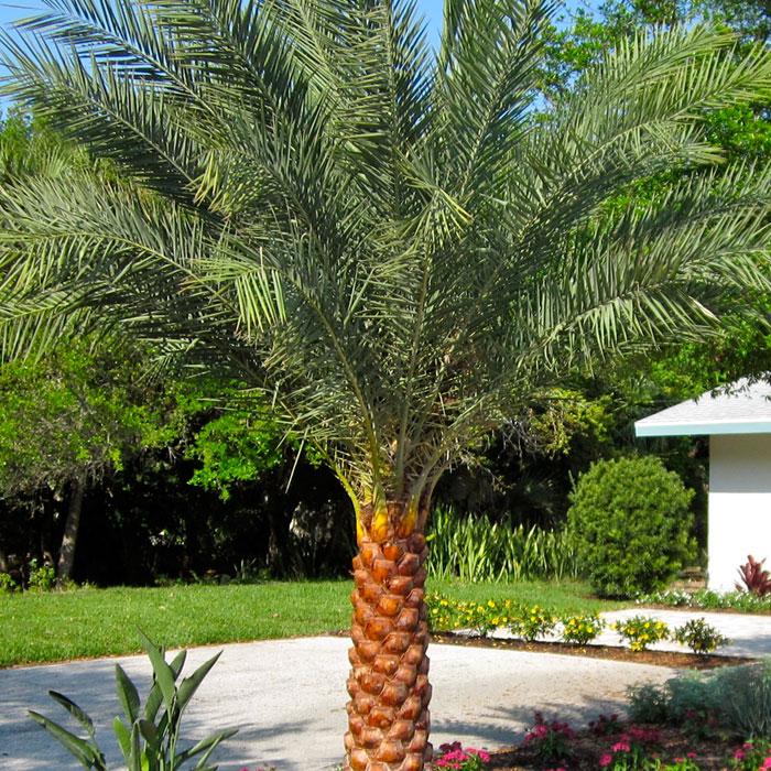 Landscape Lighting Ocala Fl: Sylvester Palm