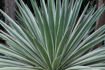 Agaves Featured Image