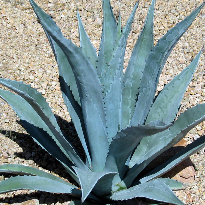 Agave tequilana - Wikipedia |Blue Agave Plant