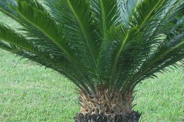Cycads Featured Image