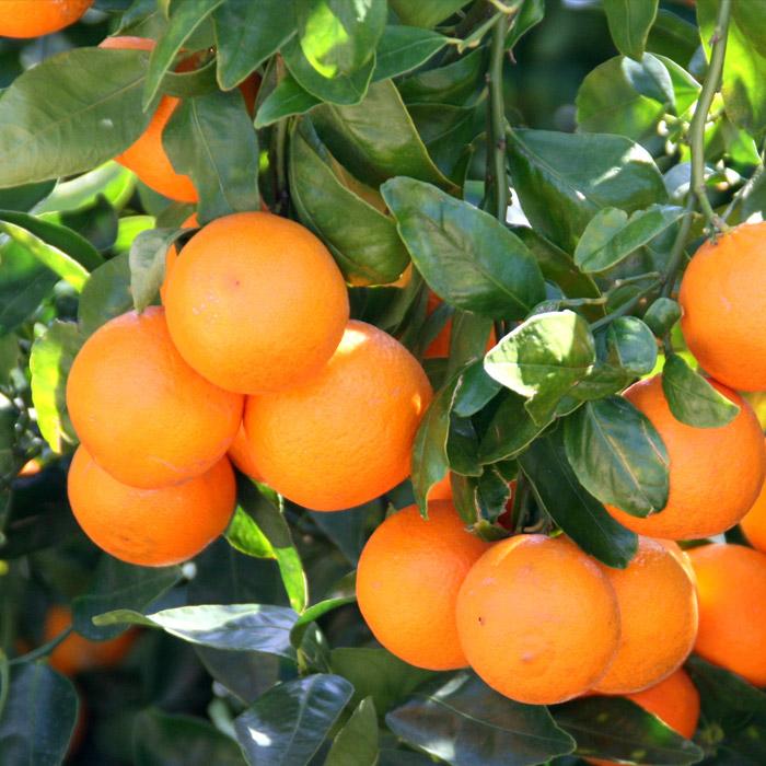 Tangerine Tree Verdego