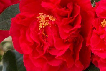 Camellias Featured Image