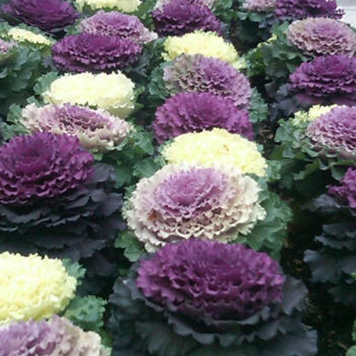 Ornamental Cabbage Flowering Kale Verdego