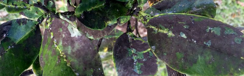 Sooty Mold:  Common Pests –  Aphids, Scale & Whitefly Featured Image