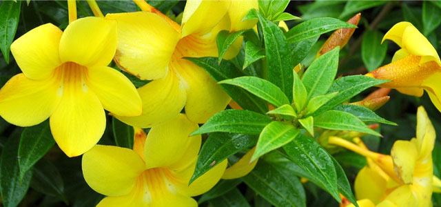 Plant of the Week: Allamanda Featured Image