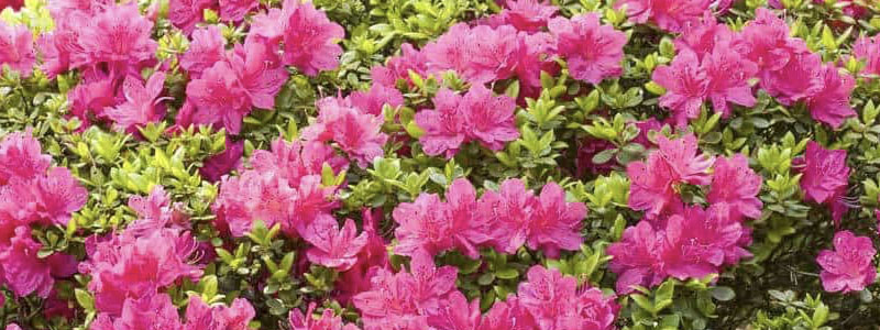 Plant of the Week: Azaleas Featured Image