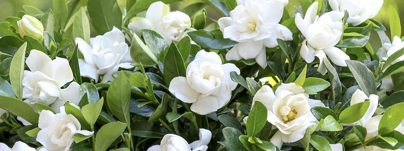 Plant of the Week: Gardenias Featured Image