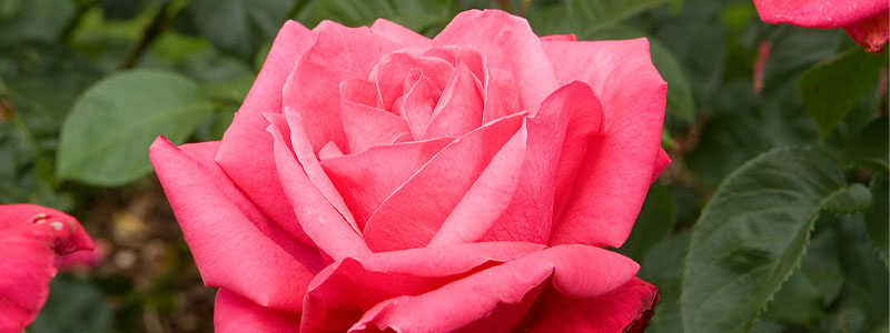 Plant of the Week: Roses Featured Image