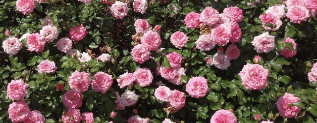 Plant of the Week: Drift Roses Featured Image