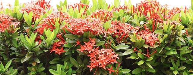 Plant of the Week: Ixora Featured Image