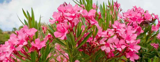 Plant of the Week: Oleander Featured Image