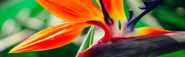 Plant of the Week: Bird of Paradise Featured Image