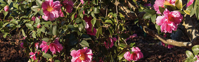 Plant of the Week: Camellias Featured Image