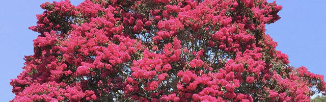 Plant of the Week: Crape Myrtles Featured Image