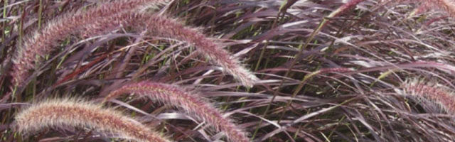 Plant of the Week: Fountain Grass Featured Image