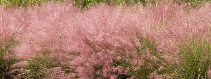Plant of the Week: Muhly Grass Featured Image