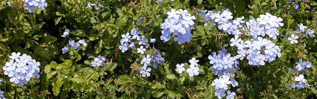 Plant of the Week: Plumbago Featured Image