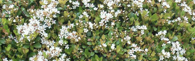 Plant of the Week: Indian Hawthorne Featured Image