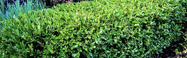 Plant of the Week: Japanese Boxwood Featured Image