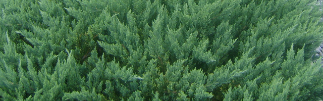 Plant of the Week: Juniper Parsoni Featured Image