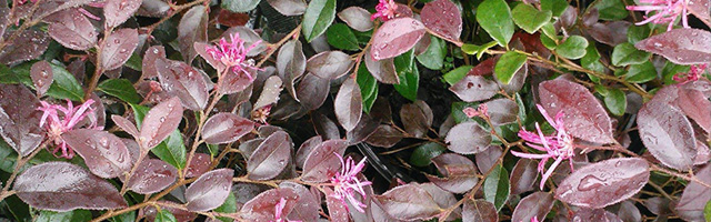 Plant of the Week: Loropetalum Featured Image