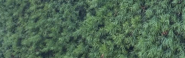 Plant of the Week: Podocarpus Featured Image