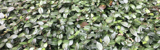 Plant of the Week: Asiatic Jasmine Featured Image