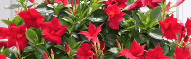 Plant of the Week: Dipladenia Featured Image