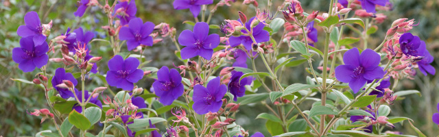 Plant of the Week: Tibouchina Princess Flower Featured Image