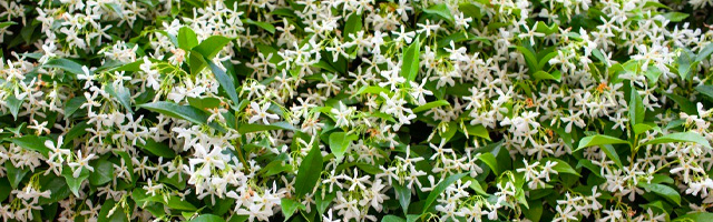 Plant of the Week: Confederate Jasmine Featured Image