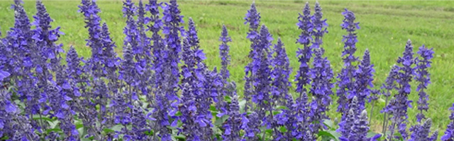 Plant of the Week: Salvia Mystic Spires Featured Image