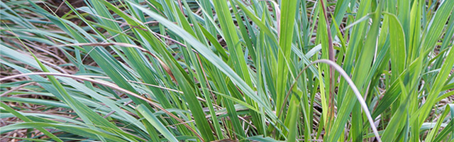 Plant of the Week: Fakahatchee Grass Featured Image