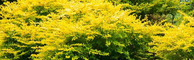 Plant of the Week: Ligustrum Sunshine Featured Image