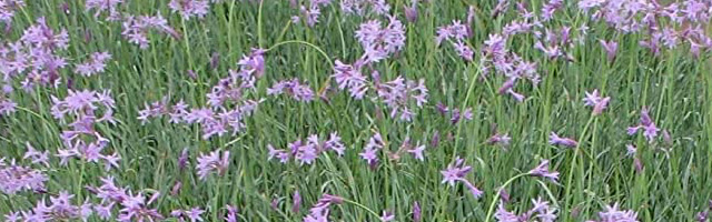 Plant of the Week: Society Garlic Featured Image