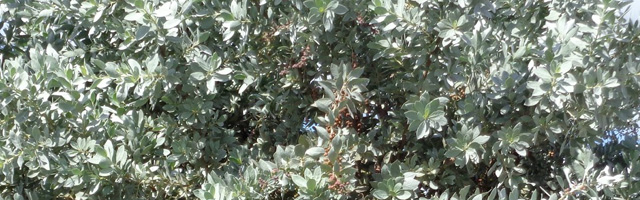 Plant of the Week: Silver Buttonwood Featured Image