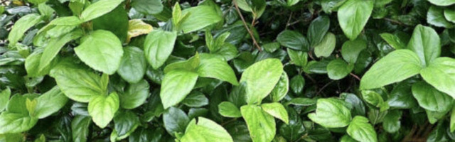 Plant of the Week: Viburnum Suspensum Featured Image
