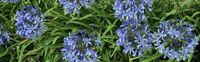 Plant of the Week: Agapanthus Featured Image