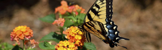 Butterfly Gardening Featured Image