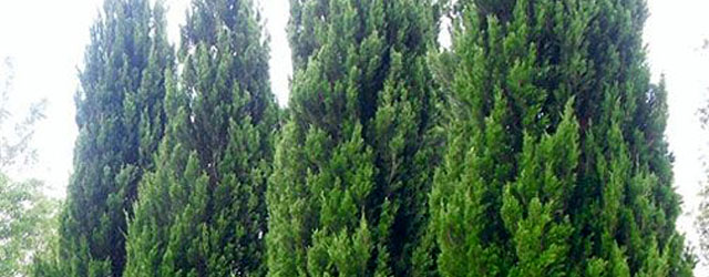 Plant of the Week: Spartan Juniper Featured Image