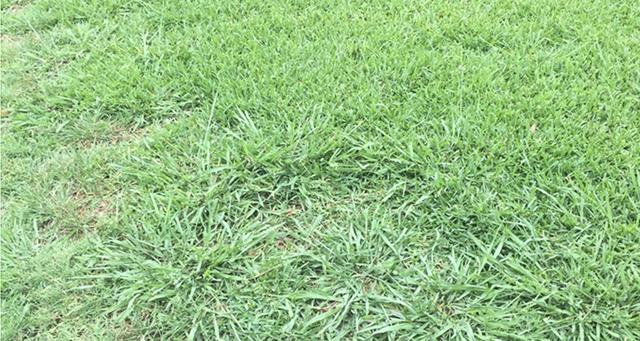 Crab Grass in St. Augustine Grass Featured Image